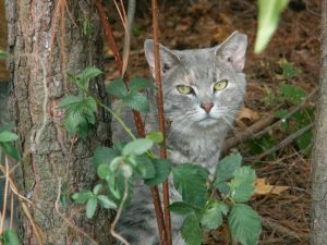 feral-cats ear-tipped